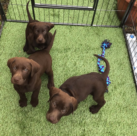 Puppies Kittens For Sale Kent Labradoodle Labrador Pointers